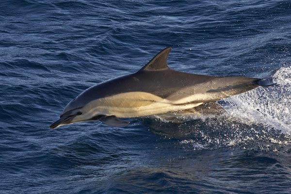 Dolphins abound in Massachusetts