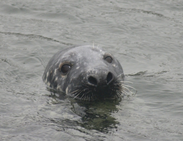 Seals are Curios in Massachusetts